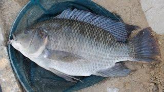 Download Cara mancing ikan Mujaer , simpel... Video