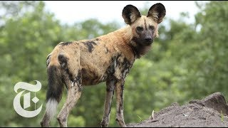 Download Wild Dogs Sneeze to Hunt | ScienceTake Video
