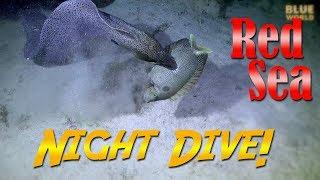 Download Red Sea Night Dive! | JONATHAN BIRD'S BLUE WORLD Video