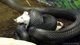 Download Mother Mouse Protects Baby From Snakes - Mouse Vs Snake Video