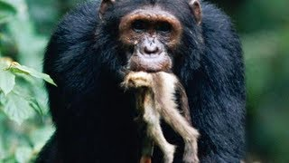 Download Monkey Hunting of Chimpanzees Video