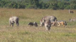 Download Black-backed jackals hunting warthog piglets Video