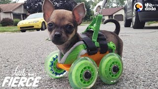 Download Tiniest Puppy Loves To Race Around On His Wheels | The Dodo Little But Fierce Video