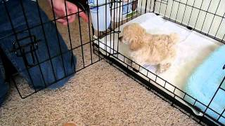 Download My Toy Poodle Puppy Niko's First Day Home Video