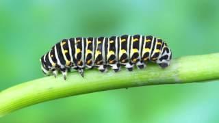 Download cycle de vie papillon machaon (accéléré) Video