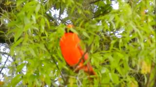 Download Male Cardinal Sings His Heart Out! 3-18-'14 Video