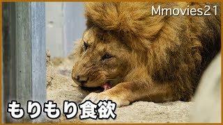 Download 春だ!ご飯だ!アフリカゾーンの動物たち ライオンリッキー食事風景 Video