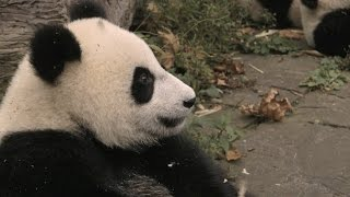 Download Panda toddlers have lunch with Clare Balding - Operation Wild: Series 1 Episode 1 - BBC One Video