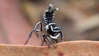 Download Peacock Spider 17 (Maratus sceletus) Video