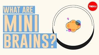 Download What are mini brains? - Madeline Lancaster Video
