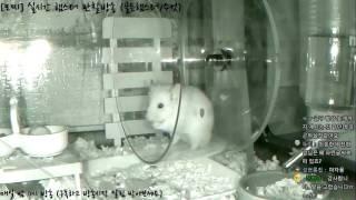 Download [모찌Live/햄스터] 실시간 햄스터 관찰 방송 Hamster Live #16-12-21 Video