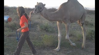 Download It's baby Baby! Lost footage from 2009 resurfaces! (My male Dromedary Camel.) Video