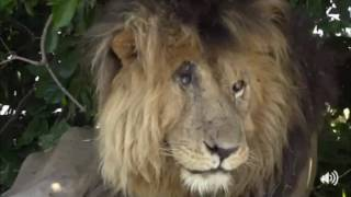 Download Safari Live Face Book : Brent with the Paradise Pride including the famous Scar Face May 16, 2017 Video