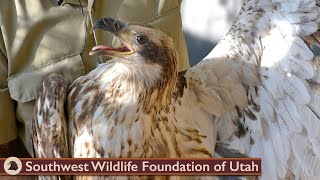 Download Rescued Rare White Belly Bald Eagle Video