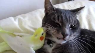 Download Bird preening cats whiskers Video