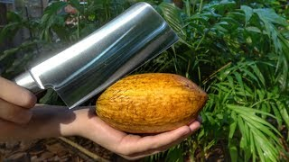 Download What's inside a Cocao Pod? Video