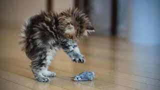 Download Funny Kittens 🐱😺 Funny Playful Kittens (Full) [Funny Pets] Video
