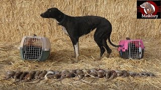 Download Trained Mink and Dog Catch 25 rats!!! Video