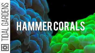 Download Hammer Coral Care Tips Video