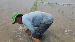 Download Không Ngờ Có Cách Bắt Cá Lóc Quá Hay l Đánh Bắt Mùa Nước Nổi Video