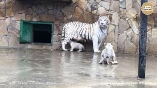 Download Шахерезада с малышами. Тайган. Крым.   White tigress Scheherazade and cubs Video