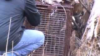 Download Thought we had a fox in our live trap. What happens next is amazing! Video