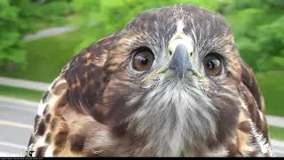 Download H3 Gets Up Close And Personal With Cornell Hawks Cam – June 20, 2018 Video