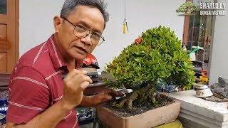 Download Những kinh nghiệm quý chăm sóc cây Trang bonsai của nghệ nhân Đồng Nai Video
