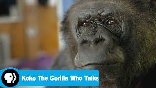 Download KOKO THE GORILLA WHO TALKS | Preview | PBS Video