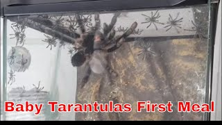 Download Feeding freshly emerged baby spiders - Aren't they cute! Video