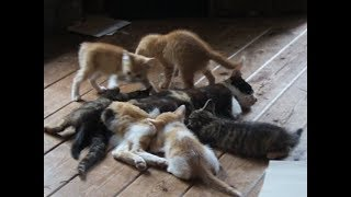 Download 驚愕!ある日ミケが5匹の子猫 を連れやってきた!《第2話》「絶倫猫タマが死んだ?」「廃材の隙間に住み着いた5匹の子猫たち」 2018.6 21 -22 野良三毛猫ミケ5度目の 出産・子育て Video
