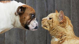 Download Gatos Vs. Perros: ¿Quiénes Son Los Mejores? Video