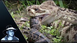 Download Rattlesnake Eats Alligator 01 Footage Video