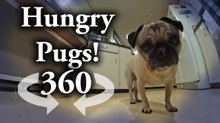 Download 360 degree Video: Pugs Chompin down Video