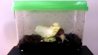 Download 아침먹는 식용 달팽이 하루 (2016.11.28) Video
