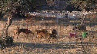 Download ¡Peligro! Perros salvajes Video