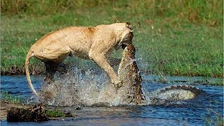 Download Crocodile Vs Lion | Lion Loses Battle And Seriously Injured. Video