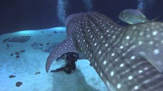Download Diving With Whale Sharks in the Georgia Aquarium Video