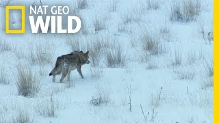 Download A Wolf (Not) in Sheep's Clothing | Wild Turkey Video