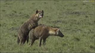 Download Safari Live : A very rare sighting of mating Hyenas in the Masai Mara with Scott June 27, 2017 Video