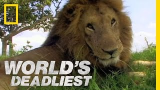 Download Lion vs. Lion | World's Deadliest Video