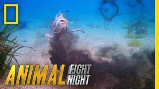 Download See the Cuttlefish's Incredible Offensive Strategy | Animal Fight Night Video