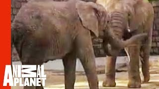 Download Electrified Elephant | Untamed Uncut Video