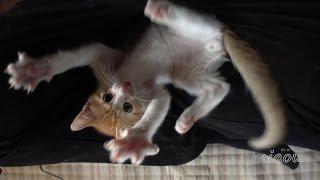 Download 猫部屋生活3週間目。【瀬戸のまや日記】Maya 3 weeks at Miaou Cat Room Video