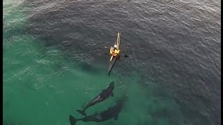 Download Orcas playing with kayakers Video