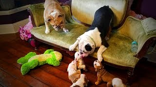 Download Cute Puppies 😍🐶 Puppies Playing With Parents (Full) [Funny Pets] Video
