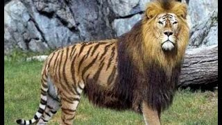 Download Top 7 Amazing and Rare Animal Hybrids Video