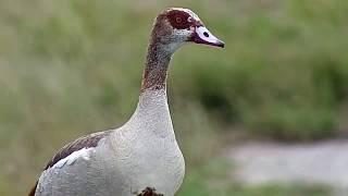 Download Djuma: Egyptian Goose - 07:41 - 03/26/19 Video