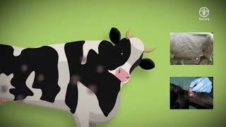 Download Блютанг и нодулярный дерматит: осведомленность и профилактика Video