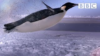Download How does a penguin launch itself from the sea? - The Wonder of Animals | BBC Video